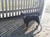 Собаки, щенки Ягдтерьер, цена 1200 Грн., Фото
