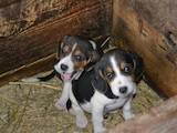 Собаки, щенята Естонський гончак, ціна 1300 Грн., Фото