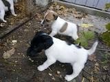 Собаки, щенки Гладкошерстный фокстерьер, цена 2200 Грн., Фото