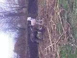 Собаки, щенята Грейхаунд, ціна 4000 Грн., Фото