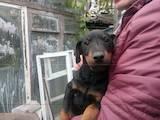 Собаки, щенята Ягдтер'єр, ціна 1100 Грн., Фото
