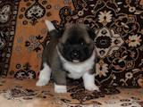 Собаки, щенята Американський акіта, ціна 18000 Грн., Фото