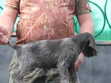 Собаки, щенки Немецкая жесткошерстная легавая, цена 4000 Грн., Фото