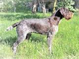 Собаки, щенки Немецкая жесткошерстная легавая, цена 7800 Грн., Фото