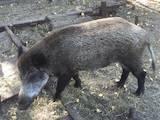 Тварини Різне, ціна 7500 Грн., Фото