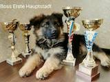 Собаки, щенки Немецкая овчарка, цена 6500 Грн., Фото