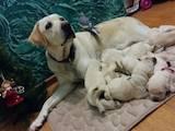 Собаки, щенки Лабрадор ретривер, цена 3500 Грн., Фото