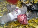 Собаки, щенята Західно-Сибірська лайка, ціна 2800 Грн., Фото