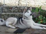 Собаки, щенки Сибирский хаски, цена 2800 Грн., Фото