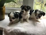 Собаки, щенята Йоркширський тер'єр, ціна 26500 Грн., Фото