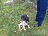 Собаки, щенки Русский спаниель, цена 1100 Грн., Фото