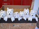 Собаки, щенята Самоїдом, ціна 4500 Грн., Фото