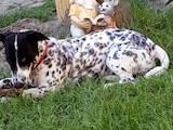 Собаки, щенки Далматин, цена 500 Грн., Фото