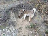 Собаки, щенята Західно-Сибірська лайка, ціна 550 Грн., Фото