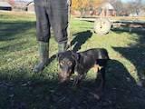 Собаки, щенки Ягдтерьер, цена 5500 Грн., Фото
