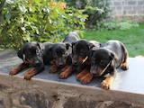 Собаки, щенки Ягдтерьер, цена 3500 Грн., Фото