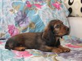 Собаки, щенята Довгошерста такса, ціна 7000 Грн., Фото