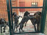 Собаки, щенки Немецкая жесткошерстная легавая, цена 20000 Грн., Фото