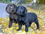 Собаки, щенки Лабрадор ретривер, цена 7000 Грн., Фото