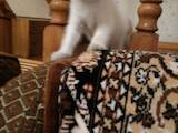 Кошки, котята Шотландская вислоухая, цена 2100 Грн., Фото