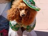 Собаки, щенята Карликовий пудель, ціна 100 Грн., Фото