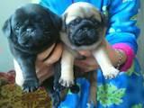 Собаки, щенята Мопс, ціна 4800 Грн., Фото