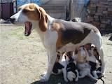 Собаки, щенки Эстонская гончая, цена 100 Грн., Фото