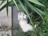 Собаки, щенки Сибирский хаски, цена 2600 Грн., Фото