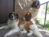 Собаки, щенки Сенбернар, цена 3700 Грн., Фото