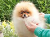 Собаки, щенки Померанский шпиц, цена 45000 Грн., Фото