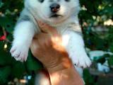 Собаки, щенки Сибирский хаски, цена 4999 Грн., Фото