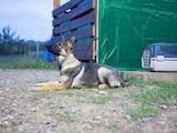 Собаки, щенки Немецкая овчарка, цена 13000 Грн., Фото
