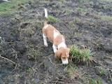 Собаки, щенки Эстонская гончая, цена 200 Грн., Фото