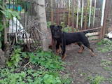 Собаки, щенята Ягдтер'єр, ціна 3000 Грн., Фото