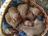 Собаки, щенята Угорська вижла, ціна 2000 Грн., Фото