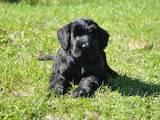 Собаки, щенки Ризеншнауцер, цена 12000 Грн., Фото