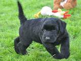 Собаки, щенята Різеншнауцер, ціна 12000 Грн., Фото