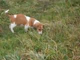 Собаки, щенки Эстонская гончая, цена 300 Грн., Фото