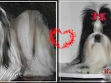 Собаки, щенята Йоркширський тер'єр, ціна 5200 Грн., Фото