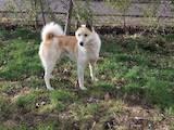 Собаки, щенки Западно-Сибирская лайка, цена 1200 Грн., Фото