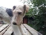 Собаки, щенки Жесткошерстный фокстерьер, цена 5000 Грн., Фото
