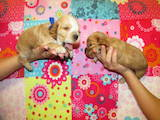 Собаки, щенята Англійський коккер, ціна 1100 Грн., Фото