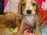 Собаки, щенки Английский коккер, цена 1100 Грн., Фото
