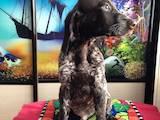 Собаки, щенята Німецька гладкошерста лягава, ціна 4500 Грн., Фото