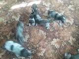 Собаки, щенки Разное, цена 2000 Грн., Фото