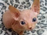 Кошки, котята Донской сфинкс, цена 2500 Грн., Фото