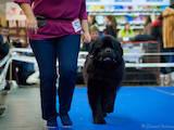 Собаки, щенки Ньюфаундленд, цена 500 Грн., Фото