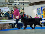 Собаки, щенята Ньюфаундленд, ціна 500 Грн., Фото