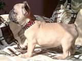 Собаки, щенята Французький бульдог, ціна 9000 Грн., Фото