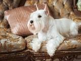 Собаки, щенки Цвергшнауцер, цена 21600 Грн., Фото